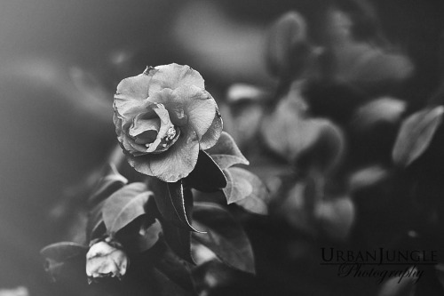 Spring Rose, Black and White, Photography